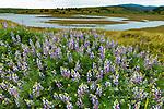 Blue Lupin, Lupinus angustifolius, Limantour Estero, Point Reyes National Seashore, Marin County, California
