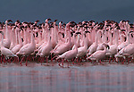 A large flock of Lesser Flamingos wade for a drink of fresh water in a stream feeding Lake Nakuru, Kenya