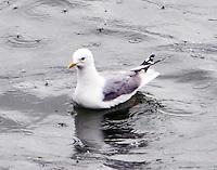 Mew gull in breeding plumage