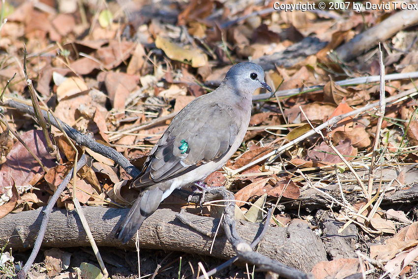 Emarald-winged Dove aka Greenwinged, South Luangwa NP, Zambia