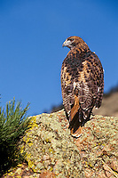 Red-tailed hawk (Buteo jamaicensis), western U.S.