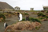 King Penguin Preening on Macquarie Island, Antarctica