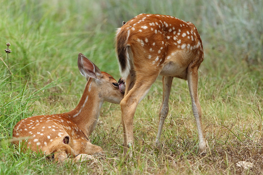 Here the fawn left's recently injured (see wound right rear leg), with its sibling offering some comfort & support.