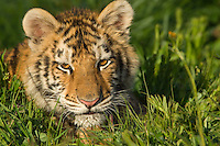 Siberian Tiger cub at about 4 1/2 months (Panthera tigris altaica).