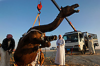 A mother camel is lifted into a truck for a ride home after the contest.  She is angry and crying out in fear for her baby, who was lifted into the truck also and tranported with her.