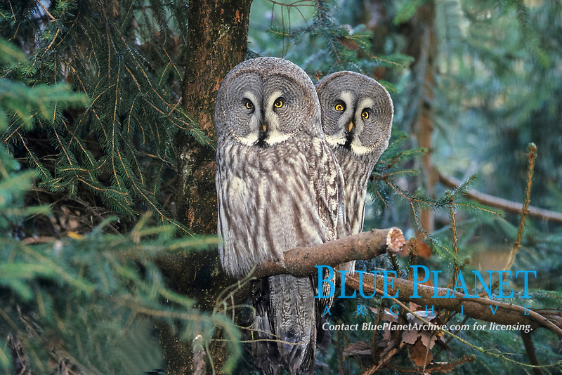 great grey owl or great gray owl, Strix nebulosa
