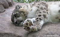 0502-0901  Snow leopard (Ounce), Uncia uncia (syn. Panthera uncia)  © David Kuhn/Dwight Kuhn Photography