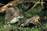 MA04-071x  Short-Tailed Weasel - ermine attempting to catch prey - toad has poisonous skin glands for protection - Mustela erminea