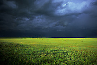Stormy skies brood above a verdant landscape dotted by grazing cattle in western Nebraska during June.