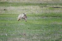 Lamar Coyote with Mule Deer Head, Yellowstone