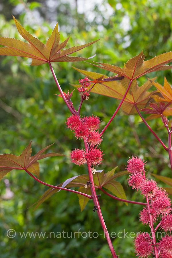 Wunderbaum, Wunder-Baum, Palma Christi, Rizinus, Ricinus communis, castor oil plant