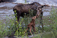 Mother (cow) moose bonds nose to nose with her new calf.