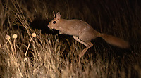 Another new mammal species for us, the kangaroo-like springhare (it's actually a rodent).