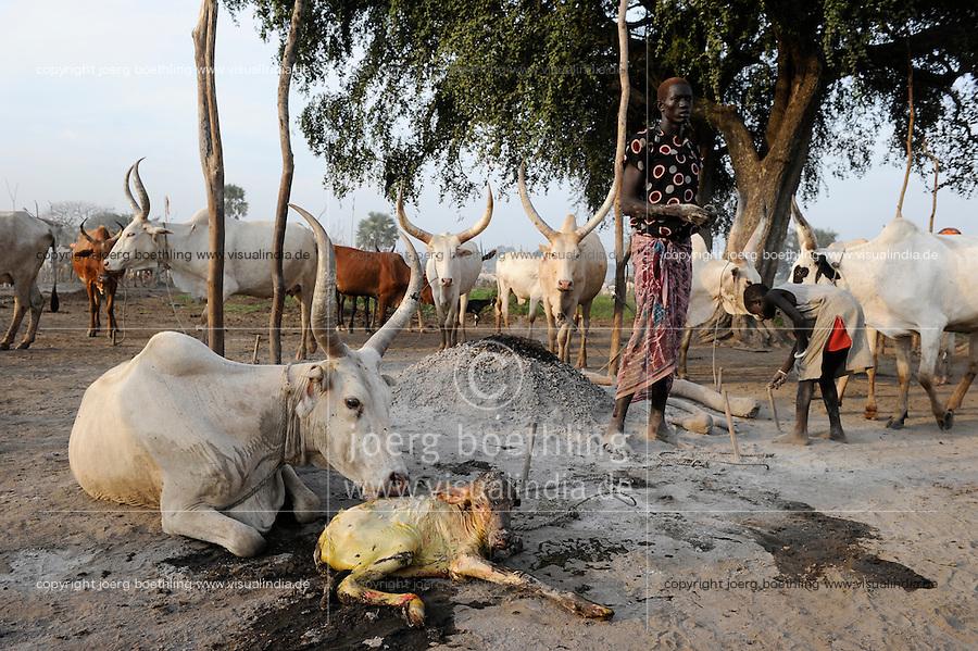 Afrika SUED-SUDAN  Bahr el Ghazal region , Lakes State, Dinka Hirten mit Zeburindern im cattle camp, Geburt eines Kalbes  | .Africa SOUTH SUDAN  Bahr al Ghazal region , Lakes State, Dinka shepherd with Zebu cow in cattle camp, birth of new calf