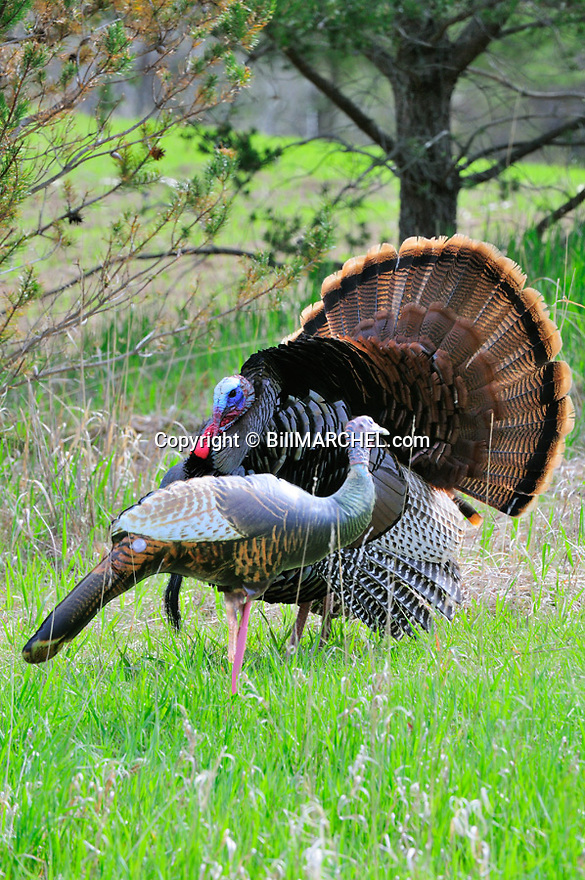 01225-109.18 Wild Turkey tom is strutting for inflatable hen decoy made by Cherokee Sports.  Hunt, gobble, spring, mate, breed.