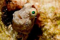 Segmented blenny, salaries segmentatus, solitary, found hiding in sheltered reefs often in turbid water to depths of 8m, Koror, Palau, Micronesia