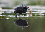 A family of moorhens feeding on fish are perfectly reflected in the water.  The chicks, with their vivid red and yellow beaks, reach for the small pieces of fish caught by their mother.<br /> <br /> The amazing pictures were captured by amateur photographer Ali Abdulraheem at a pond in Bourne, Lincolnshire.  SEE OUR COPY FOR DETAILS.<br /> <br /> Please byline: Ali Abdulraheem/Solent News<br /> <br /> © Ali Abdulraheem/Solent News & Photo Agency<br /> UK +44 (0) 2380 458800
