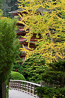 Japanese Tea Garden in Golden Gate Park, San Francisco, California. Ginkgo in fall color.