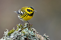 Male Townsend's Warbler (Setophaga townsendi). Washington County, Oregon. November.