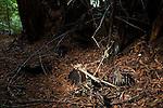 Black-tailed Deer (Odocoileus hemionus) skeleton, killed and fed on by Mountain Lion (Puma concolor), Santa Cruz Puma Project, Santa Cruz, Monterey Bay, California