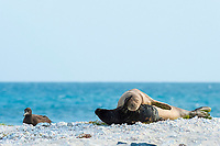 endemic Hawaiian monk seal, Neomonachus schauinslandi ( Critically Endangered Species ), and pup, resting on beach near black-footed albatross, Phoebastria nigripes, East Island, French Frigate Shoals, Papahanaumokuakea Marine National Monument, Northwest Hawaiian Islands, USA ( Central Pacific Ocean )