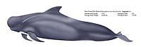 Short finned pilot whale, Globicephala macrorhynchus, illustration by the artist Wyland