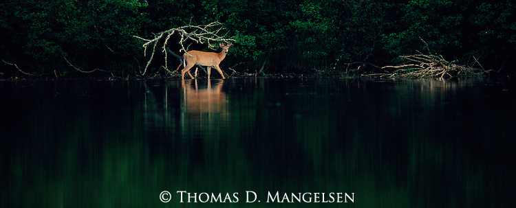 Caught in the first light of dawn as it comes to water, a whitetail deer brings a touch of color to the dark woods of Maine.