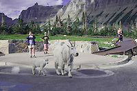 Mountain Goat,Oreamnos americanus,female with young on Going to the sun road shedding winter coat, Logan Pass, Glacier National Park, Montana, USA, July 2007