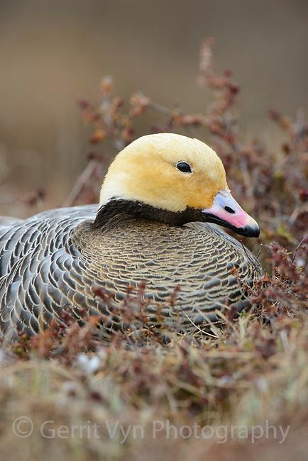 Female Emperor Goose (Chen canagica) sitting on its tundra nest in early spring. Yukon Delta, Alaska. June.