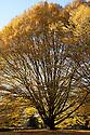 Fastigiate hornbeam (Carpinus betulus 'Fastigiata'), early November.