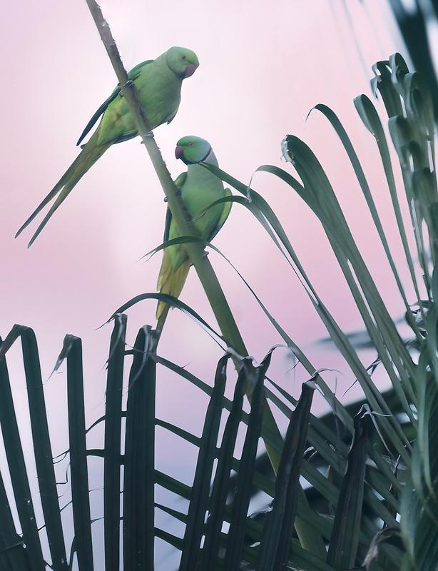 Green parrots on palm tree. Kauai, Hawaii