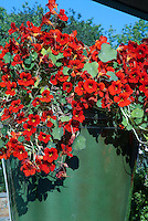 Nasturtiums Tropaeoleum annual flowers in container pot, red annual vine blooms