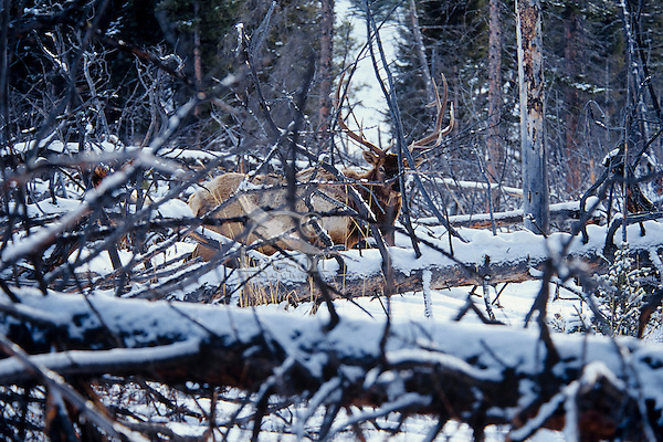 Rocky Mountain Elk (Cervis elaphus) bull among snow covered blowdowns, Northern Rockies.  Fall.