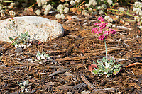 Baby San Miguel Island buckwheats (Eriogonum grande rubescens) growing in front of a California buckwheat (Eriogonum fasciculatum foliosum); seedlings from a plant that died last year.   A honeybee (Apis mellifera) is walking on one of the bright pink flowers.