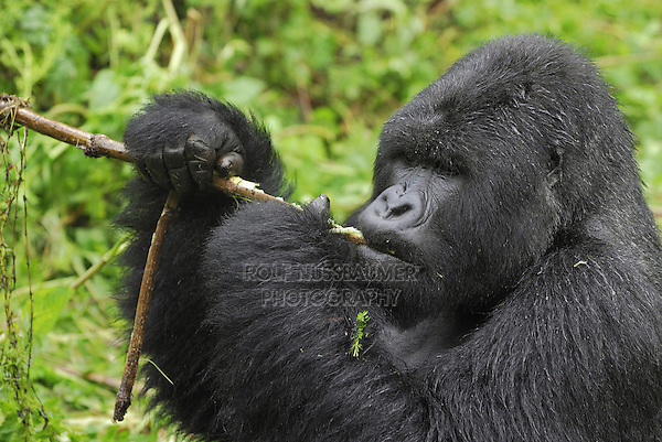 .Mountain Gorilla (Gorilla beringei beringei), Silverback eating, Volcanoes National Park, Rwanda
