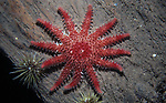 Spiny sunstar on wood piling, Eastport, Maine
