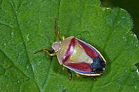 Ginster-Baumwanze, Ginsterbaumwanze, Piezodorus lituratus, Piezodorus degeeri, Gorse Shieldbug, Baumwanzen, Pentatomidae, stink bugs
