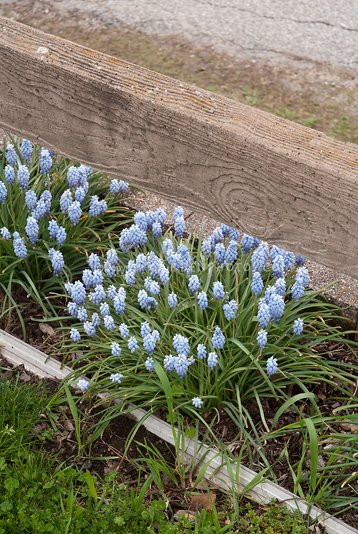 Muscari (light blue) grape hyacinth bulbs in spring flowers