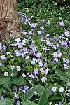 AMETHYST FLOWER, BROWALLIA 'ENDLESS CELEBRATION'