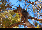 Abert's Squirrel, Tassel-Eared Squirrel, Grand Canyon, Arizona