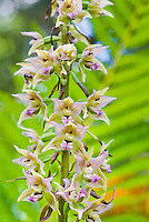 Epipactis helleborine hardy orchid blooming in July, terrestrial, green and purple flowers, invasive in some parts of the USA