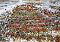 "Jambiani, Zanzibar, Tanzania.  Rows of Seaweed Planted by Village Women.  It can be harvested three weeks after planting.  After drying, it will be exported to Asia.  Women can only tend the fields during low tide.  Women receive about twelve cents per kilo, ""thin and dried."""