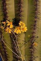 Brittlebush or brittlebrush (Encelia farinosa) growing near saguaro cactus (Carnegiea gigantea).  Arizona.  Feb-March.