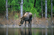 Moose on the edge of a pond in New Hampshire USA.