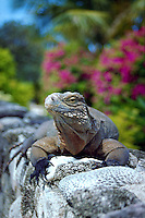 Iguana, Little Cayman, Cayman Islands