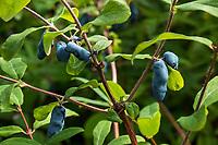 Lonicera caerulea, Honeyberry; Georgeson Botanical Garden, Fairbanks Alaska