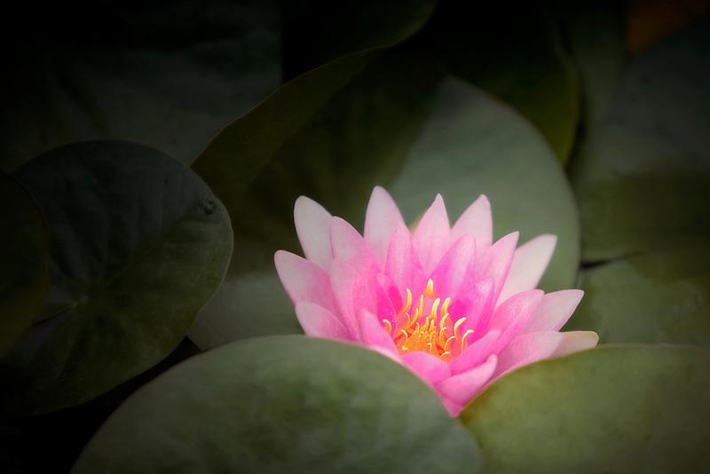 Water Lily - (Rene Gerard). Hughes Water Gardens. Oregon