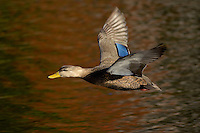 American Black Duck..Autumn..Nova Scotia, Canada..Anas rubripes.