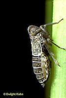 PH07-003b   Salt-marsh Planthopper on cord grass, brachypterous female,  Delphacodes penedetecta