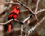 Ortonized image of a male Cardinal. Smoky Mountain photos by Gordon and Jan Brugman.